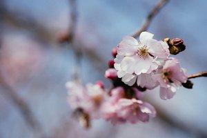 Cherry blossom clouseup