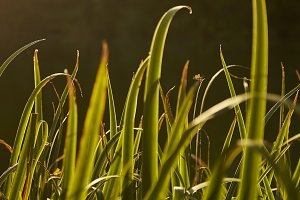 Backlit Grass with Bugs