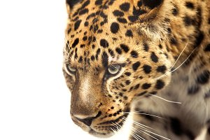 Leopard face on white