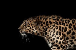 Amur leopard on black
