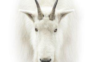 Mountain goat face on white