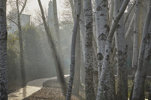 Trees with morning fog