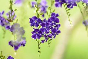 Golden Dew Drop Flower