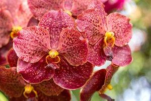 Red vanda orchid flower