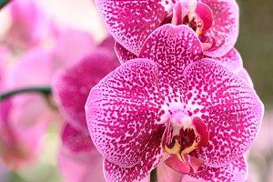 phalaenopsis orchid flower