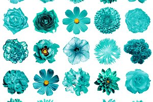 25 turquoise flowers isolated
