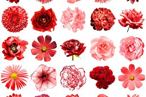 25 red flowers isolated on white