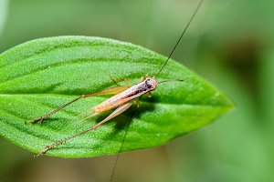 Cricket on leaf