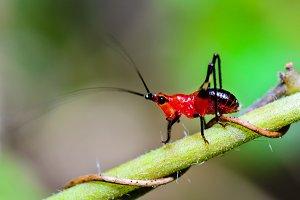 Red-black Cricket