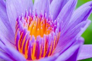 Pollen of purple lotus