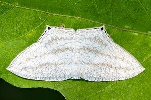 Micronia Aculeata white moth