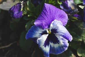 Violet flower in spring