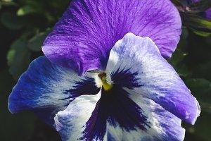 Spring flower in violet colour