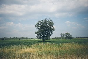 Large Tree in Field with Hay