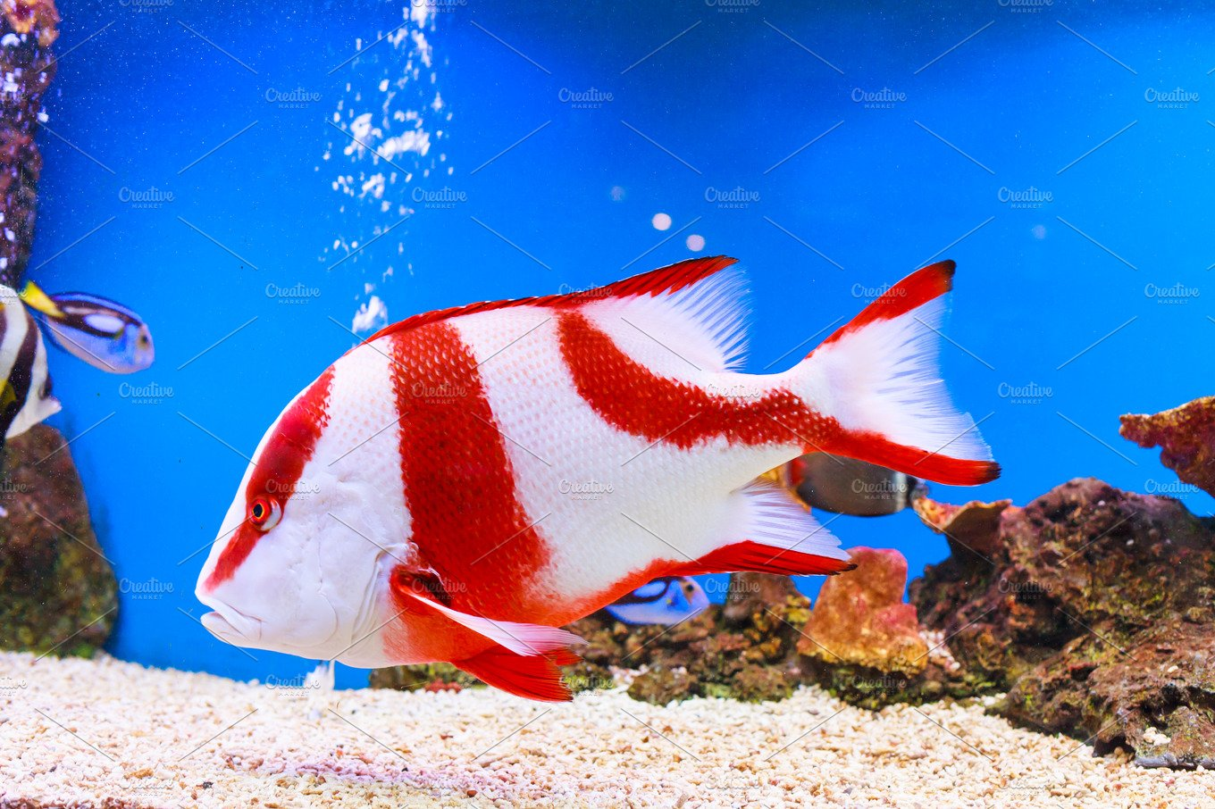Red Snapper fish ~ Animal Photos ~ Creative Market