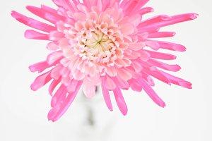 Pink Flower in Jar