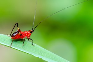 Red black Cricket