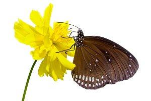 Black Kaiser butterfly
