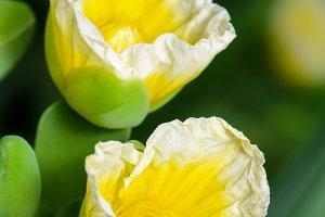 Limnocharis flava flower