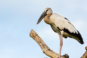 Asian Openbill bird