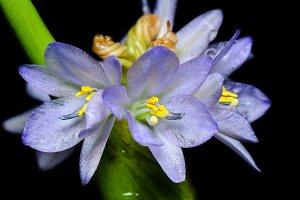 Flower OF Monochoria hastata