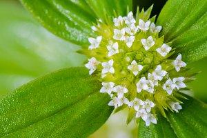 Flowers of Spermacoce Ocymoides