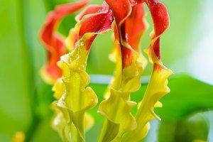 Flowers of Gloriosa Superba