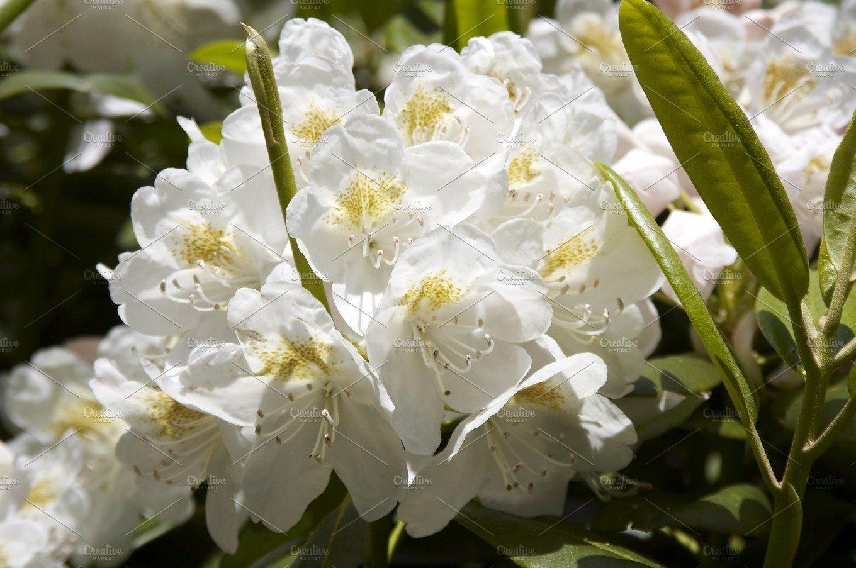 Rhododendron Nature Photos Creative Market