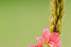 Flower of grass
