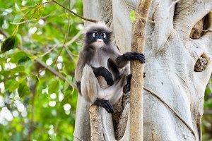 Trachypithecus obscurus monkey