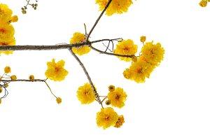Yellow of Cochlospermum Regium