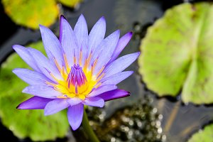 Lotus or Water Lily flower