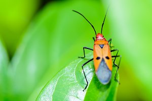 Red Cotton Bug