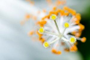 Carpel of Snowflake Hibiscus