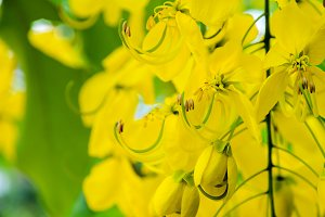 Purging Cassia flowers