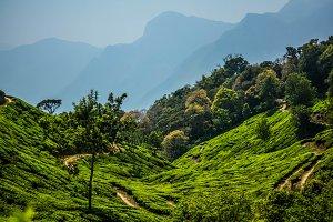 Tea Plantations #3