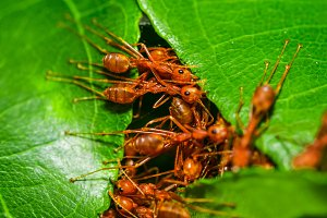 Red ants making nest