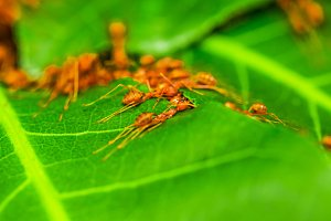 Red ants team work.