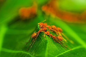 Red ant team work.