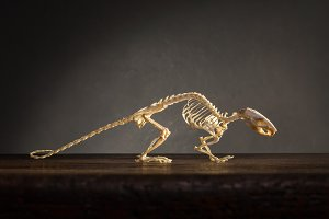 Skeleton of rat on the table