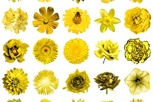 25 yellow flowers isolated on white