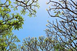 Frangipani ( Plumeria ) trees