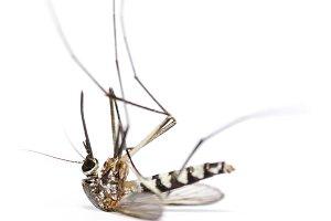 Mosquito dead