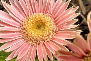 Pink Salmon Gerbera Daisy