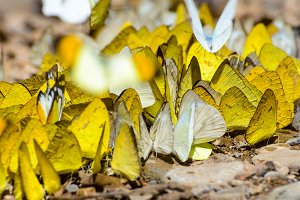 Large group of butterfly
