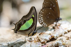 Common Nawab butterfly