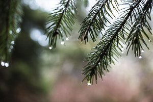 Pine Needles in the Rain