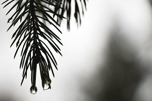 Pine Needles in the Rain 2