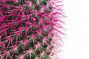 Detail of Cactus with Pink Spines
