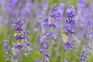Summer Flowers. Lavender.